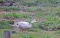 Stripgås Bar-headed goose (14520830455).jpg