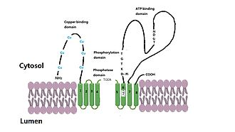 Wilson disease protein - Simple model of structural feature of ATP7B protein. Cu=Copper binding motif