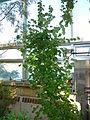 Styrax officinalis - Missouri Botanical Garden.jpg