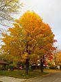 Sugar Maple Tree - panoramio.jpg