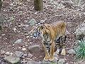 Sumatran Tiger 2.jpg