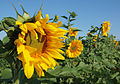 Sunflower 2009 07 24 4410.jpg