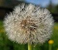 Sunflower Plant (254746533).jpeg