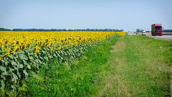 Sunflowers (9277151422).jpg