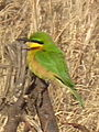 Swallow tailed bee eater in Tanzania 3435 cropped Nevit.jpg