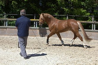 Horse training - A horse being trained on the longe line.