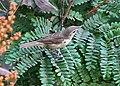 Syke's warbler I IMG 1610.jpg
