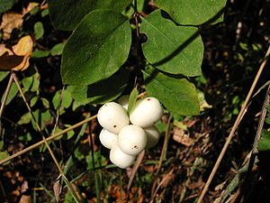Symphoricarpos - Common snowberry (S. albus)