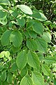 Syringa reticulata kz01.jpg