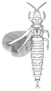 <i>Haplothrips</i> Genus of thrips