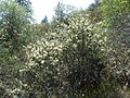 Table Rock Buckbrush.JPG
