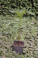 Tagetes patula (1).jpg
