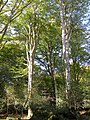 Tall beech trees in Shave Wood, New Forest - geograph.org.uk - 254900.jpg