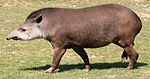 Tapirus terrestris (1) by JM Rosier.jpg