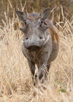 Tarangire Warzenschwein