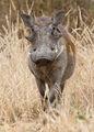 Tarangire Warzenschwein.jpg