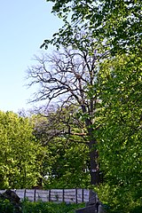 Tarasove Lutskyi Volynska-Group of oaks-giant-view from hospital territory-2.jpg