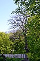 Tarasove Lutskyi Volynska-Group of oaks-giant-view from hospital territory-2.jpg