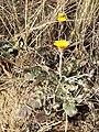Taraxacum serotinum sl83.jpg