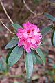 Tatton Park 2015 07 - Rhododendron.jpg