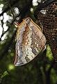 Tawny Rajah Charaxes bernardus Male UN by Dr. Raju Kasambe DSCN1769 (4).jpg