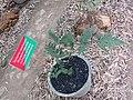 Tectaria coadunata at Periya (2).jpg