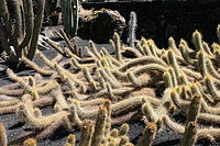 Teguise Guatiza - Jardin - Echinopsis camarguensis 01 ies.jpg