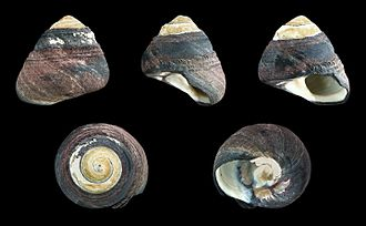 Tegula funebralis - Five views of a shell