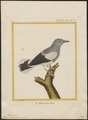 Temenuchus sinensis - 1700-1880 - Print - Iconographia Zoologica - Special Collections University of Amsterdam - UBA01 IZ15800059.tif