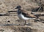 Temminck's Stint (Non- breeding plumage) I IMG 1477.jpg