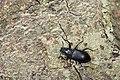 Tenebrionidae (37578950406).jpg