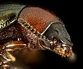Tenebrionidae Beetle, Little Stsimons Island, Georgia, face 2016-02-03-17.04 (24717881181).jpg
