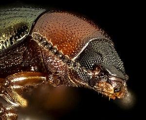 Darkling beetle - Tenebrionidae head