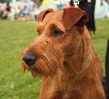 Irish Terrier Wikipedia