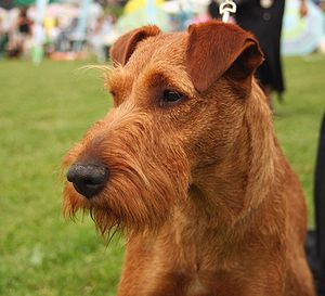 Irish Terrier - An Irish Terrier with good ear carriage