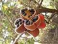 Termianalia foetida tree open fruits Mumbai Maharashtra DSCF1180 (4).JPG