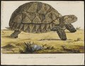 Testudo sulcata - 1796 - Print - Iconographia Zoologica - Special Collections University of Amsterdam - UBA01 IZ11600001.tif