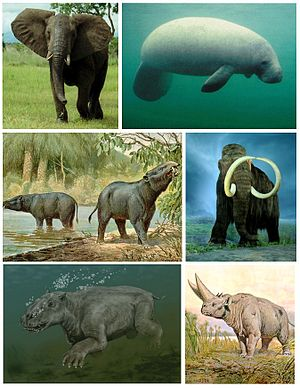 Tethytheria - Top: African elephant, Caribbean manatee; middle: Moeritherium, woolly mammoth; bottom: Paleoparadoxia, Arsinoitherium