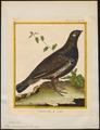 Tetrao canadensis - 1700-1880 - Print - Iconographia Zoologica - Special Collections University of Amsterdam - UBA01 IZ17100349.tif