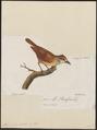 Thamnophilus doliatus - 1796-1808 - Print - Iconographia Zoologica - Special Collections University of Amsterdam - UBA01 IZ16400385.tif