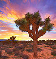The Beauty of Joshua Trees (16399451559).jpg