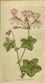 The Botanical Magazine, Plate 20 (Volume 1, 1787).png