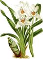 The Orchid Album-01-0077-0025-Cymbidium parishii-crop.png