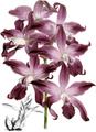 The Orchid Album-02-0006-0049-Laelia autumnalis atro-rubens-crop.png