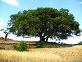 The Tree of Knowledge - panoramio.jpg