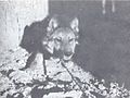 The Wolves of North America (1944) Gray wolf x Collie cross 3.jpg