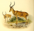 The book of antelopes (1894) Damaliscus hunteri.png