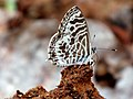 "The butterfly is a flying flower ""Zebra Blue Butterfly – Leptotes plinius"".jpg"