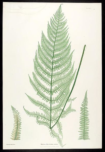 File:The ferns of Great Britain and Ireland (Plate XXXII) BHL301877.jpg