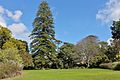 The grand Norfolk Pine in Arderne Gardens.JPG